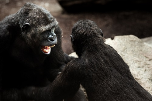 Gorilla Dispute