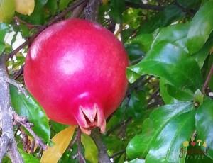 Slow Food: Pomegranates!