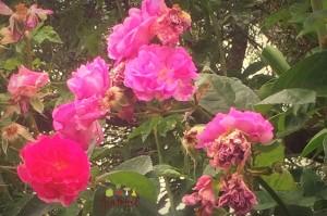 Wild Rose Petals- Dry 'em for Tea