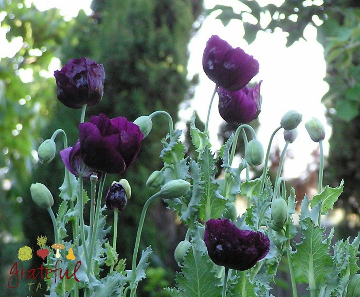 Exotic Purple Poppy, Lauren's Grape