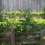 Too much oxalis in raised beds